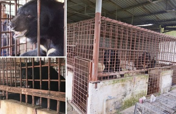 Moon bears freed after years trapped in cages at bile farm in Vietnam