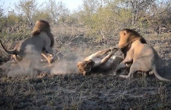 Brutal moment two powerful male lions attack a lioness