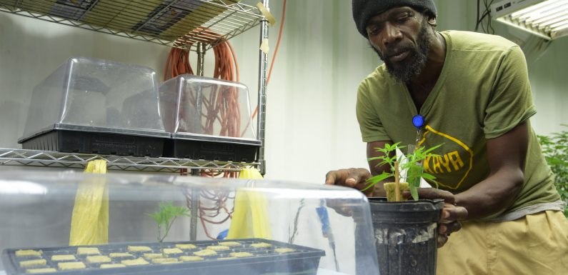 Once Criminalized, Could Jamaica Become Destination for Legal Weed?