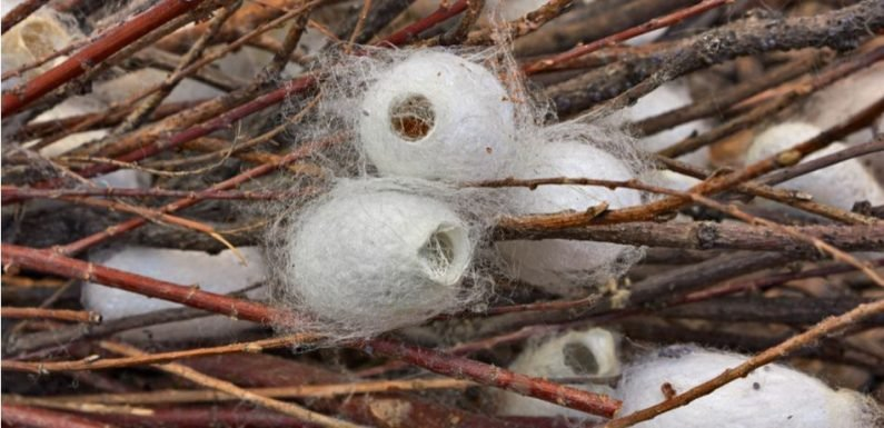 Scientists Used Gene Editing To Make Silkworms Weave Spider Silk