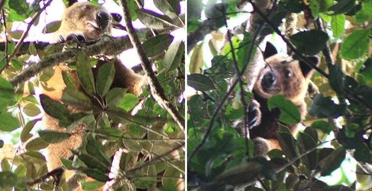 Tree kangaroo thought to have gone extinct is caught on camera for first time in 90 years by Brit tourist