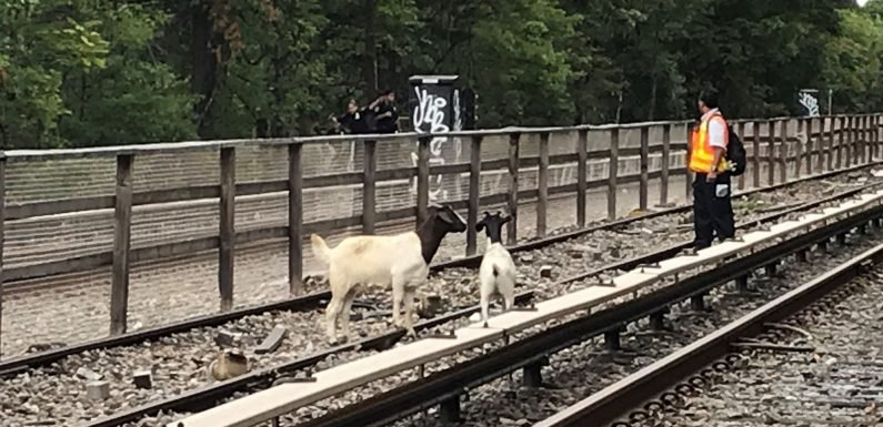 Goats spotted roaming subway tracks still on the lam