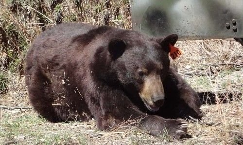 Black bear hit by arrow mauls hunter before dying, reports say
