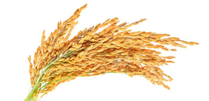 Genetically Modified, HIV-Neutralizing Rice Cultivated To Provide Treatment In Developing Countries