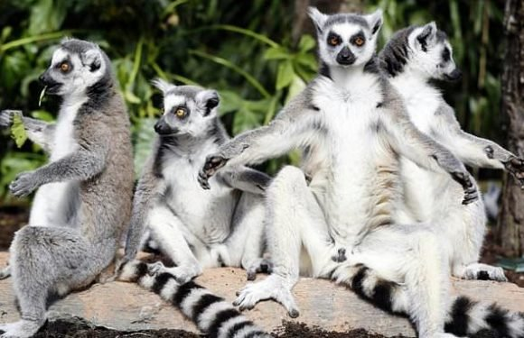 Ninety-five per cent of the world's lemurs at 'brink of extinction'