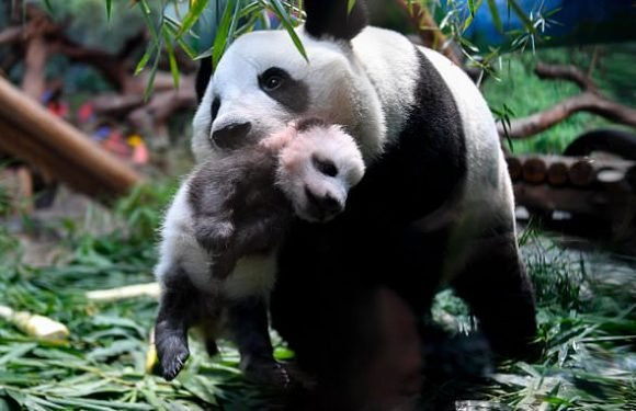 Come in for a cuddle! Mother panda dotes on two-month-old cub