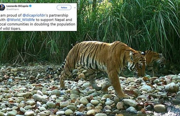 Tiger population nearly doubles in Nepal