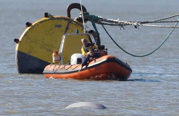 Experts say whale could stay in Thames for MONTHS if it is feeding