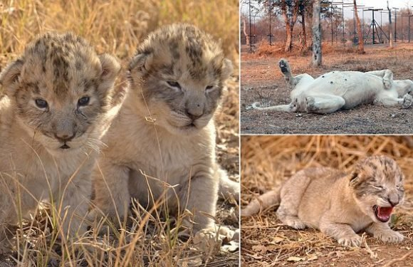 Birth of the world's first test-tube lion cubs