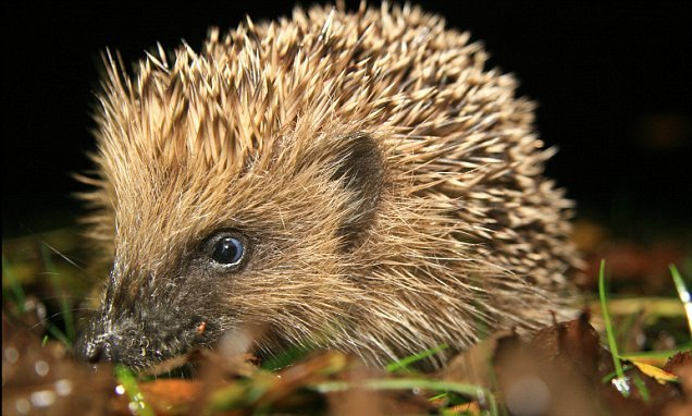 80% of the UK countryside is uninhabited by hedgehogs