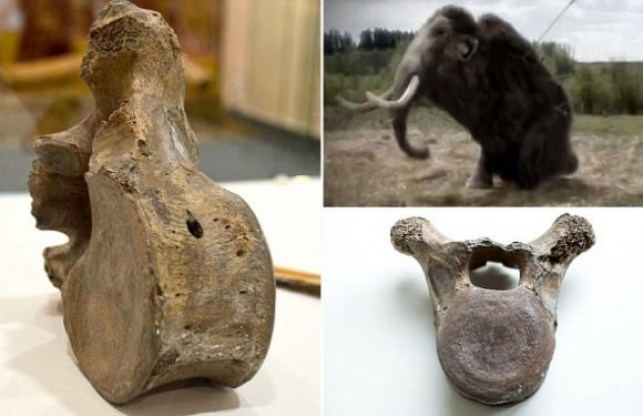 Woolly mammoths went extinct because of weak bones, study suggests