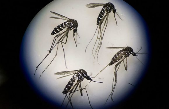 Mosquitoes May Introduce Microplastic Into The Food Chain