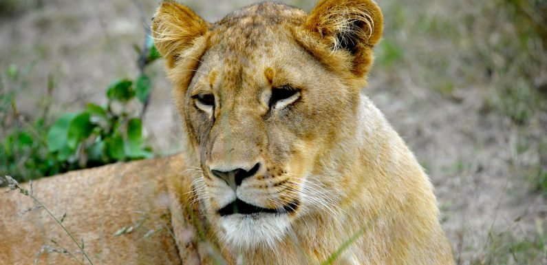 Lioness kills the father of her cubs