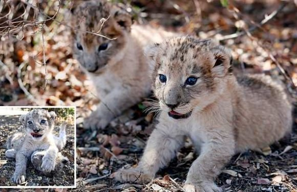 World's first test tube lion cubs are 'healthy and normal'