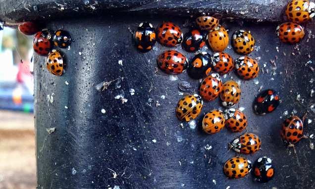 Swarms of 'cannibalistic' Harlequin ladybirds invading British homes
