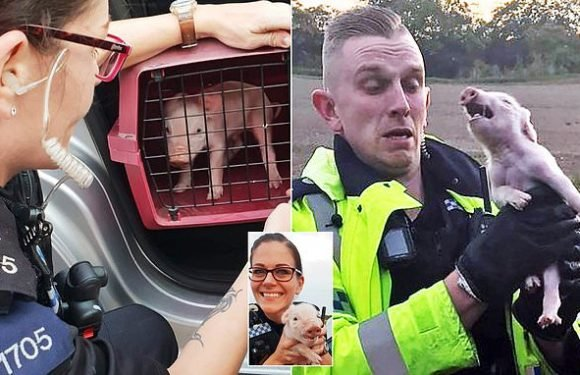 Newborn piglet is rescued after police found it near busy roundabout