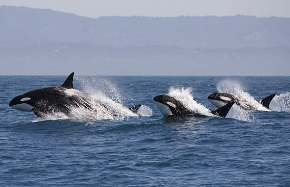 Scientists make plea to save Pacific Northwest killer whales