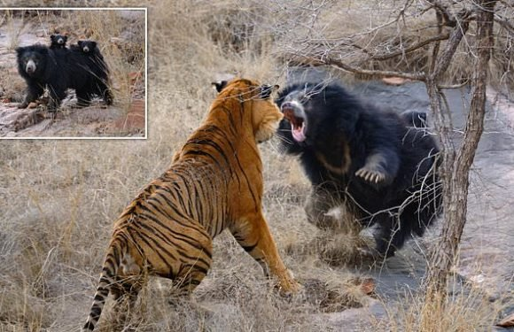 Incredible moment mother bear bravely takes on TIGERS