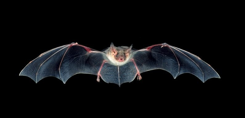 Anyone exposed to a bat 'should get a rabies jab' after virus is detected in Dorset