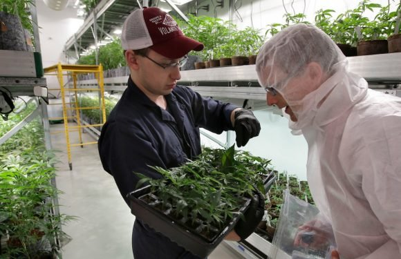 One of the hottest companies in the booming cannabis sector is going on a hiring spree — and it shows how the industry is racing to scale up