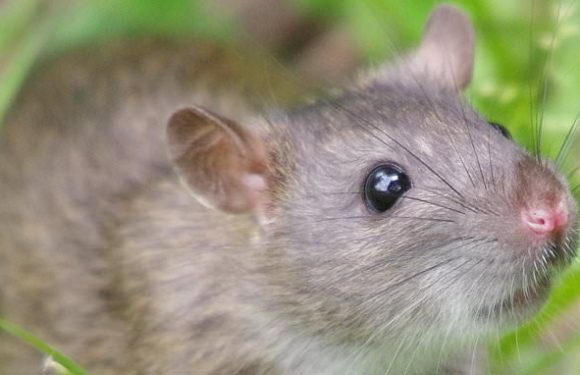Mind-reading could be one step closer thanks to study with rats