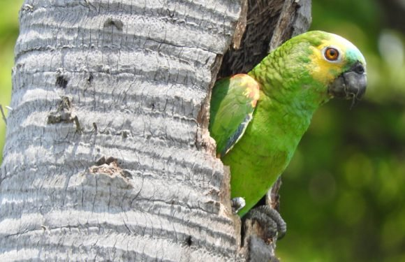 The Genes That Make Parrots Into the Humans of the Bird World