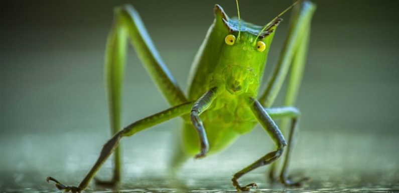 Chinese And Cuban 'Sonic Attacks' Could Be The Result Of Crickets, According To Scientists