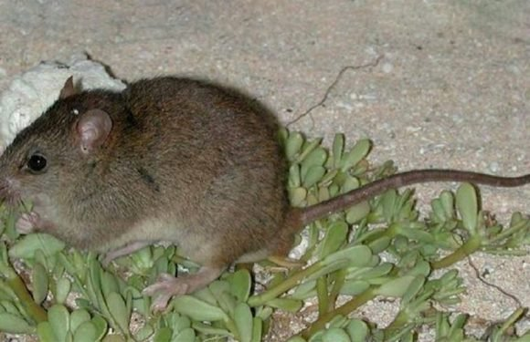 Australian rodent marks first climate change extinction, scientists say