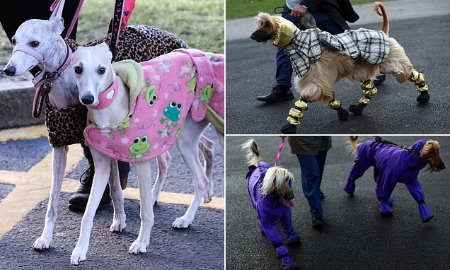 Afghan pooch with leg-warmers arrives at day three of Crufts