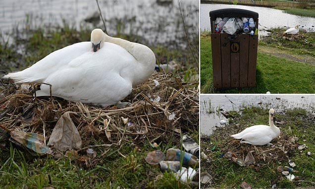 Heart-breaking images reveal swans making a nest out of LITTER