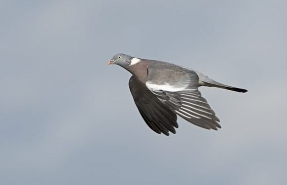 Law changed to make cull of Britain's 12million PIGEONSillegal