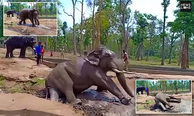 Elephant struggles against its chains before it collapses and dies