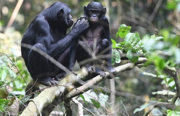 Talk about mummy's boys! Bonobo mothers help their sons to find a mate