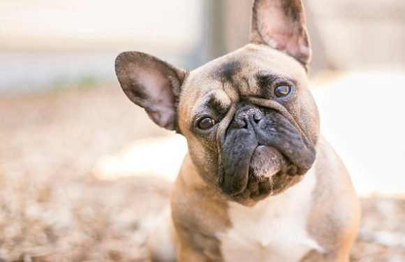 Scientists discover gene which could fix Bulldog breathing issues