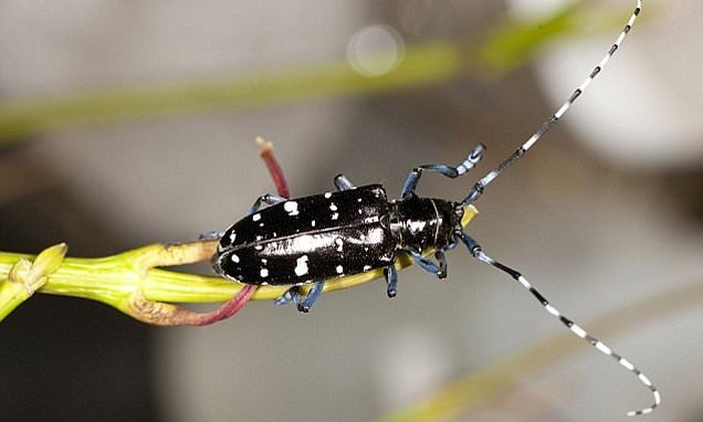 Asian longhorn beetles have been eradicated in the UK after six years