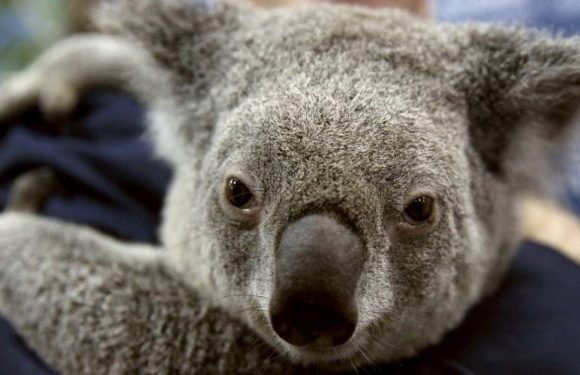 Only 80,000 koalas remain in the world, rendering them 'functionally extinct' — another victim of the 6th mass extinction
