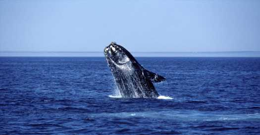 Where Did the Right Whales Go?