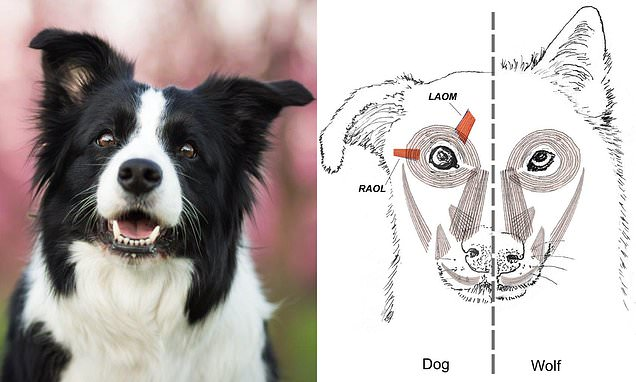 Dogs evolved 'sad eyes' to trigger nurturing response in their owners