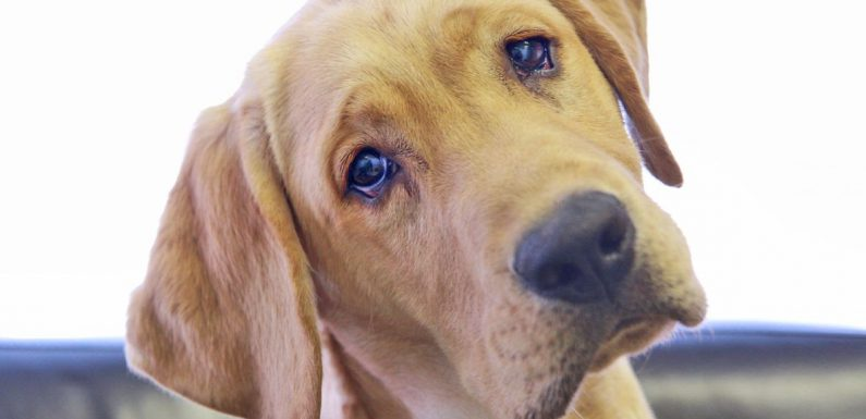Scientists reveal why dogs have evolved to give us 'puppy dog eyes'