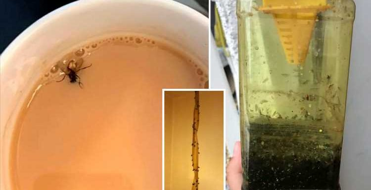 Swarms of flies infest homes as 'Saharan Bubble' heatwave creates perfect breeding conditions