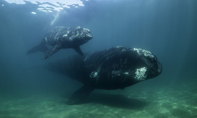 Mother whales WHISPER to evade orcas while swimming with calves