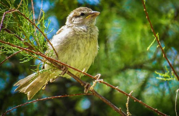 Avian MALARIA may be behind the decline of the humble sparrow