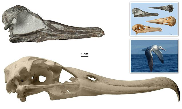 Fish-eating extinct albatross found that lived 3 million years ago