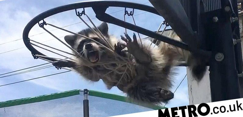 Moment struggling raccoon is untangled from basketball net