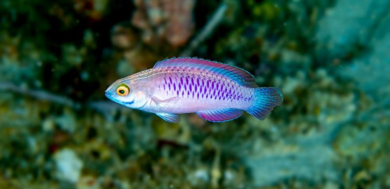 A newly discovered species of African fish with gleaming purple scales has been named after Wakanda, the fictional home of Marvel's Black Panther