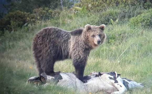 'Escape genius' bear scales three electric fences, 13-foot high barrier in daring breakout