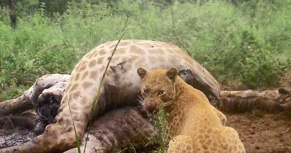 Incredibly rare 'strawberry leopard' spotted in South Africa