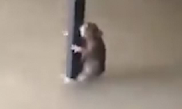 Rat clings on to a table leg as flood waters rush beneath it