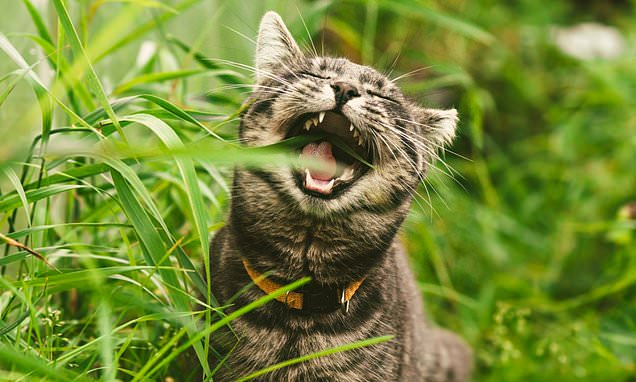 Cats eat grass because 'to rid themselves of PARASITIES'