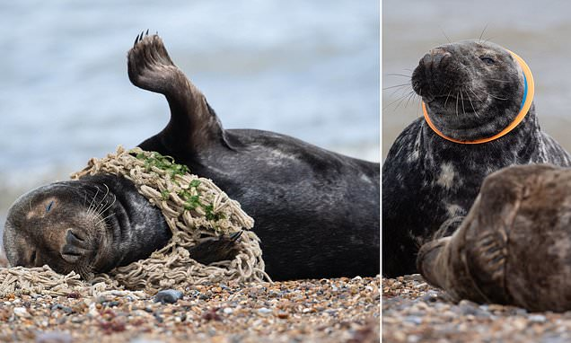 Shock images of seals on British shores being suffocated by plastic